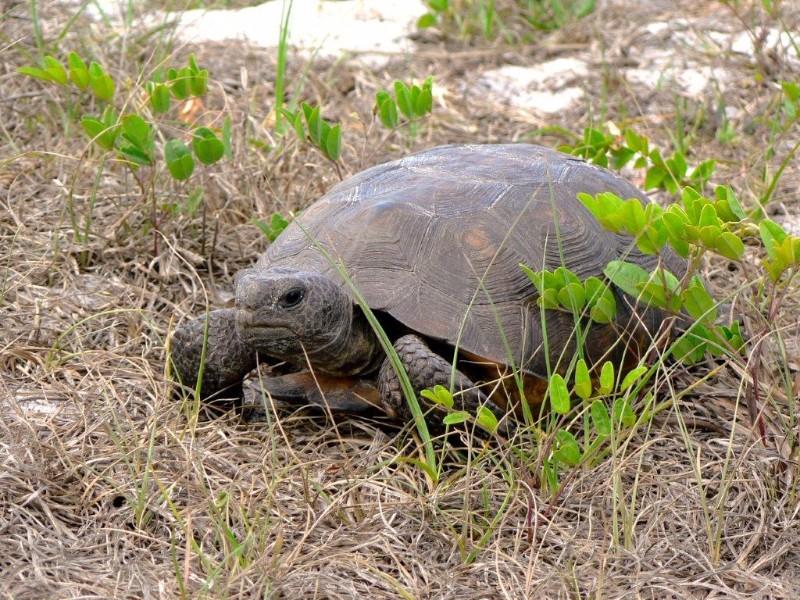 Bluefield_Ranch_MM_Gopher-Tortoise