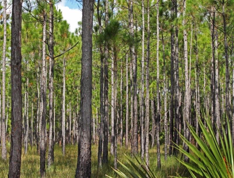 many-pines