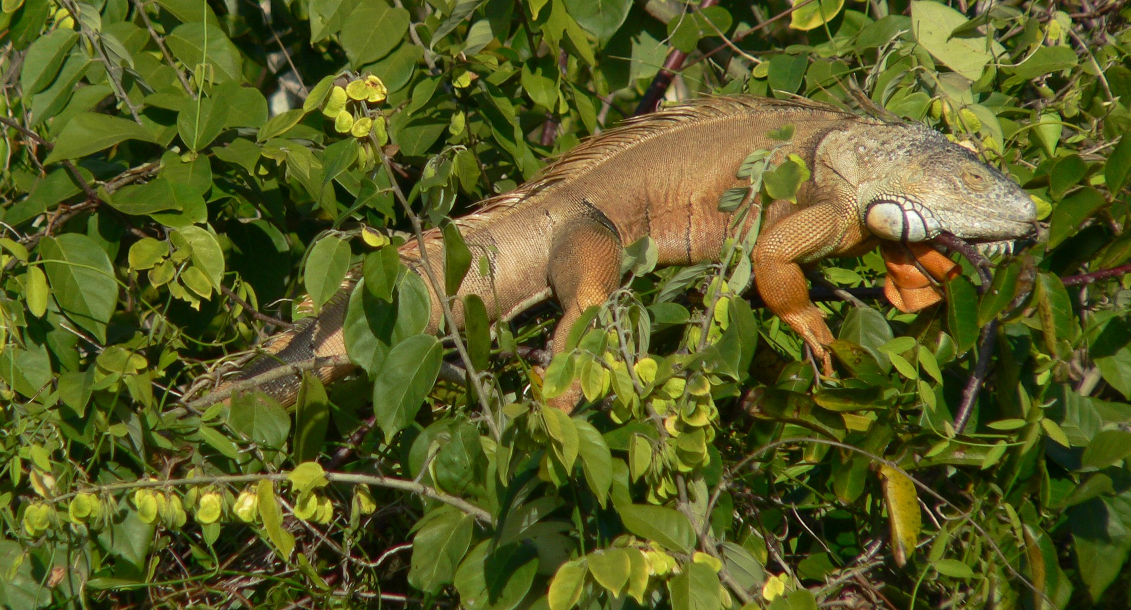 Iguana, St Lucie River (6)