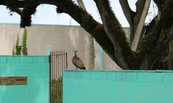 The Story Behind the Peacocks of Fort Pierce